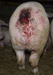 Verletztes Schwein in einer Mastanlage.