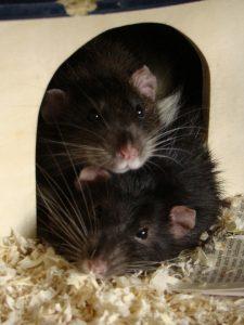 Gesunde Ratten, die nicht in den Tierversuch müssen.